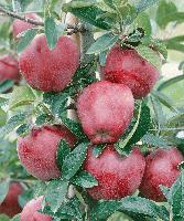 red_delicious_in_october_frost