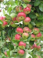cripps_pink_on_tree
